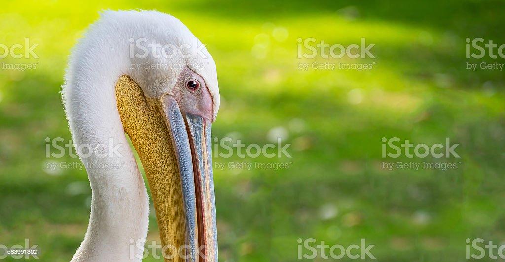 Portrait of a pelican stock photo