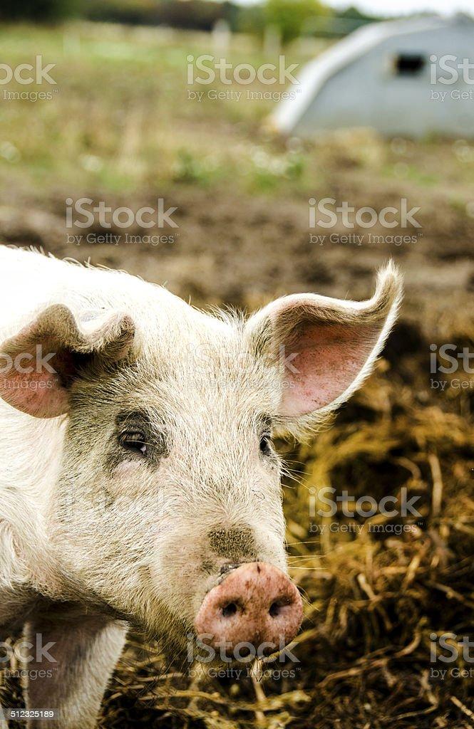 Portrait of a pig stock photo