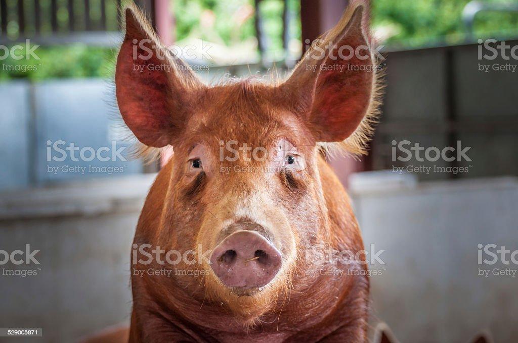 Ritratto di un maiale foto stock royalty-free