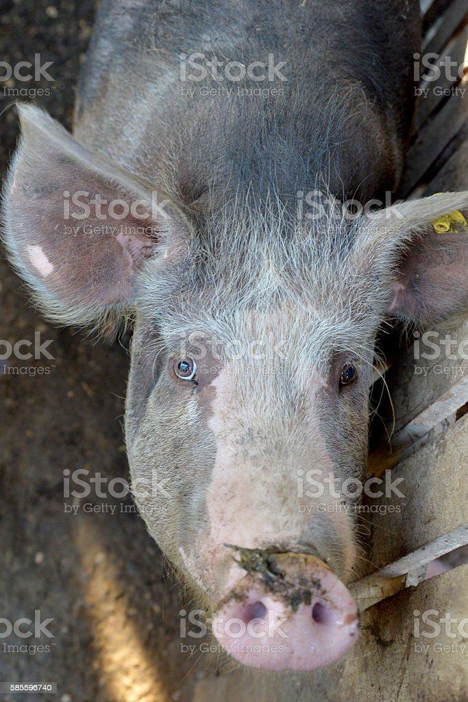 portrait of a piglet stock photo