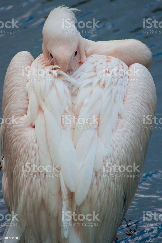 Portrait de la Rose pelican photo libre de droits