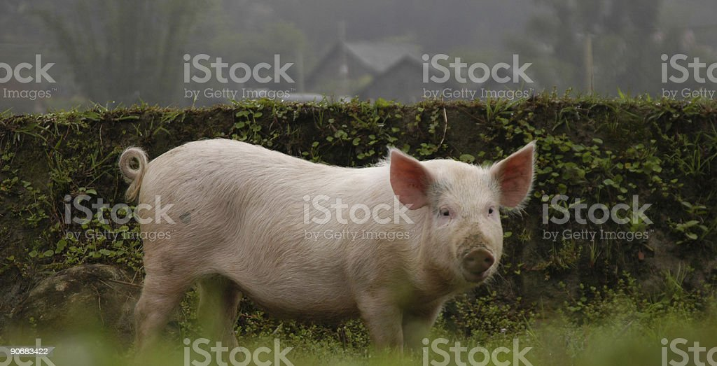 Portrait of a pink pig looking curious royalty-free stock photo