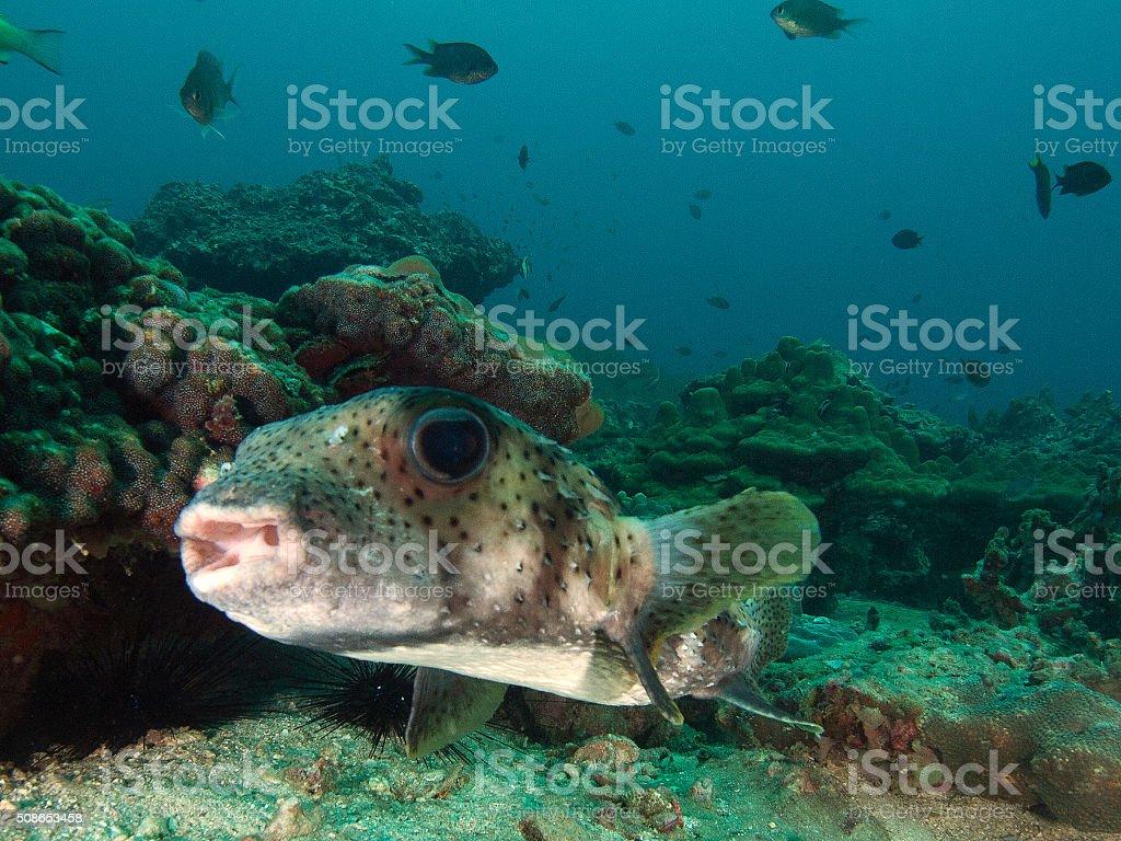 portrait of a porcupine fish stock photo
