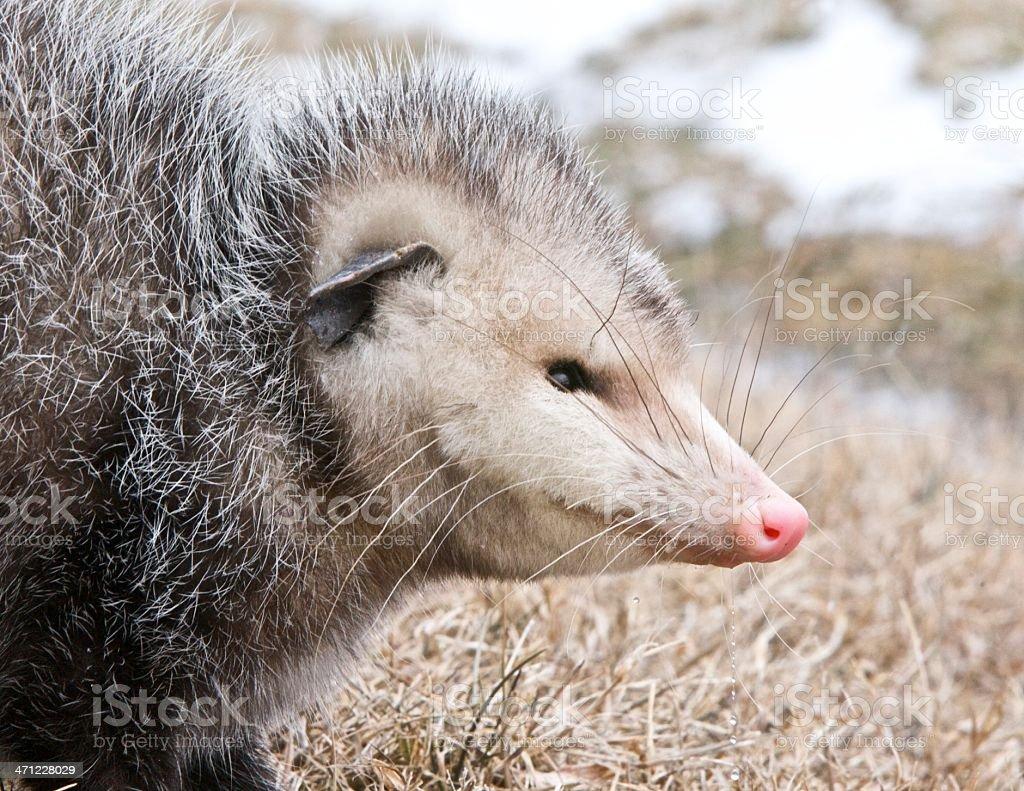 Portrait of a possum stock photo
