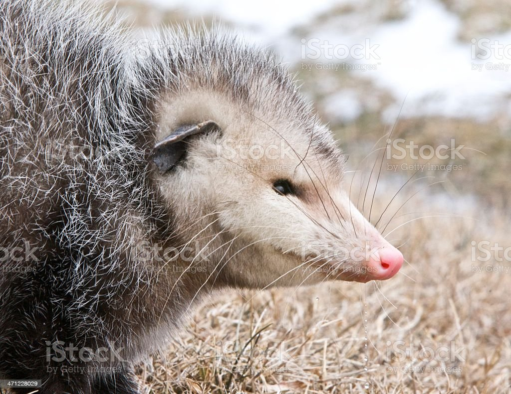 Portrait of a possum stock photo