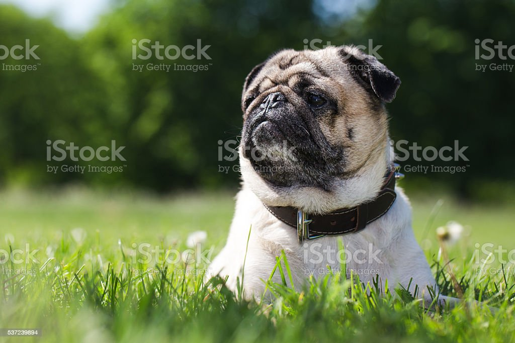Portrait of a pug dog in the morning. stock photo