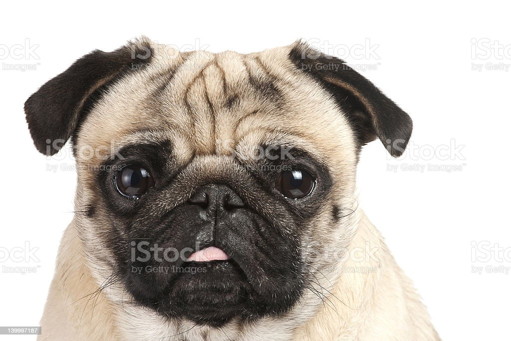 Portrait of a pug sticking its tongue out stock photo
