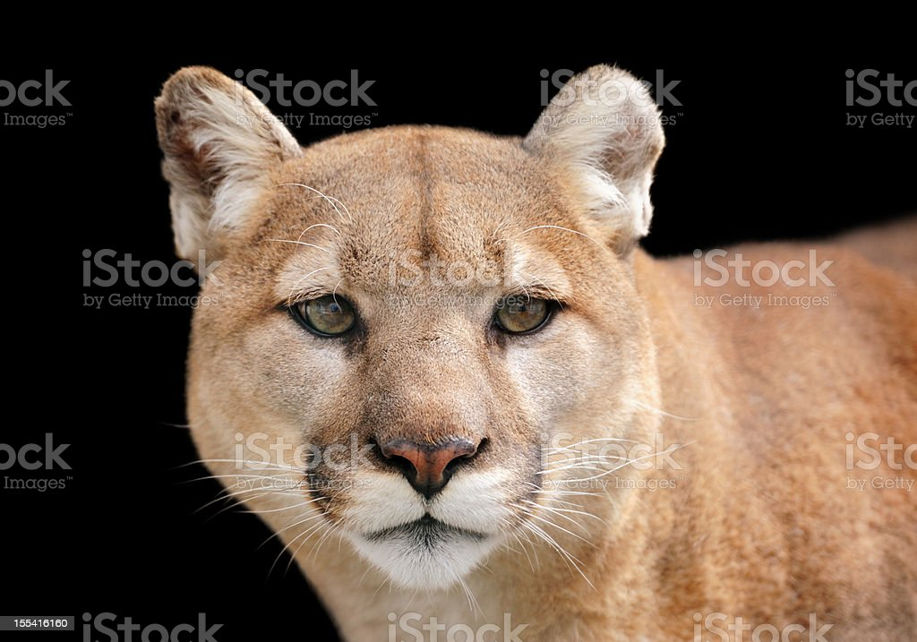 Portrait of a puma looking beyond the camera stock photo