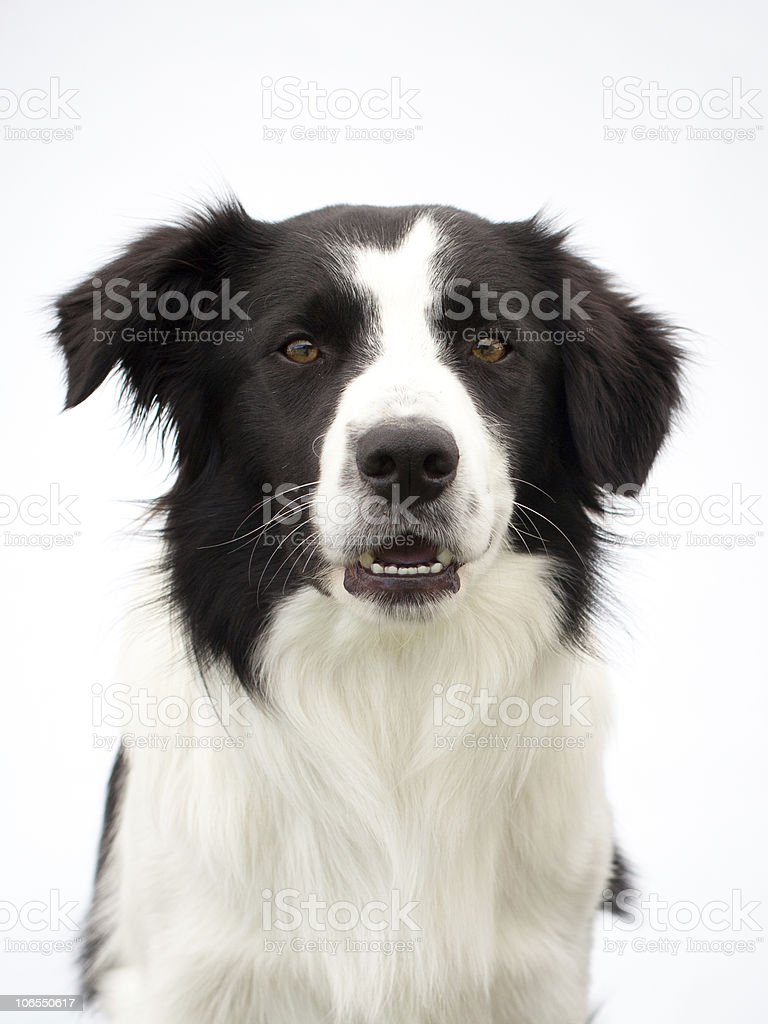 portrait of a puppy royalty-free stock photo