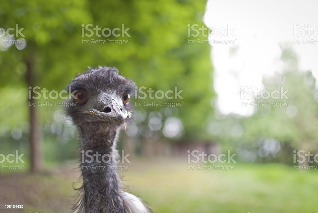Portrait of a rare black ostrich royalty-free stock photo