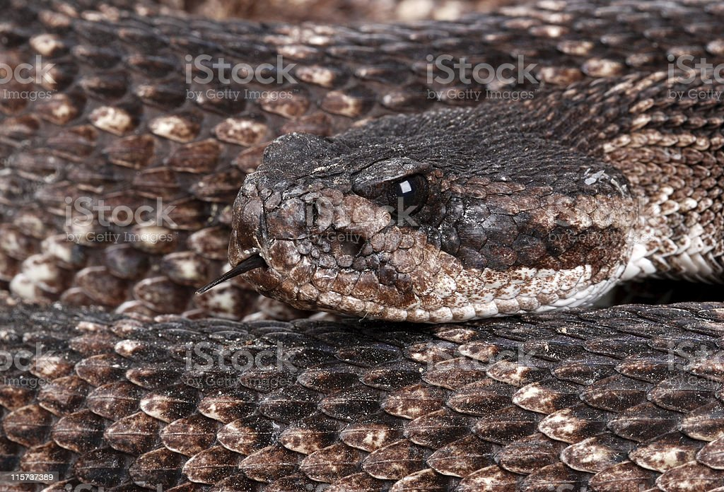 Portrait of a Rattlesnake. stock photo