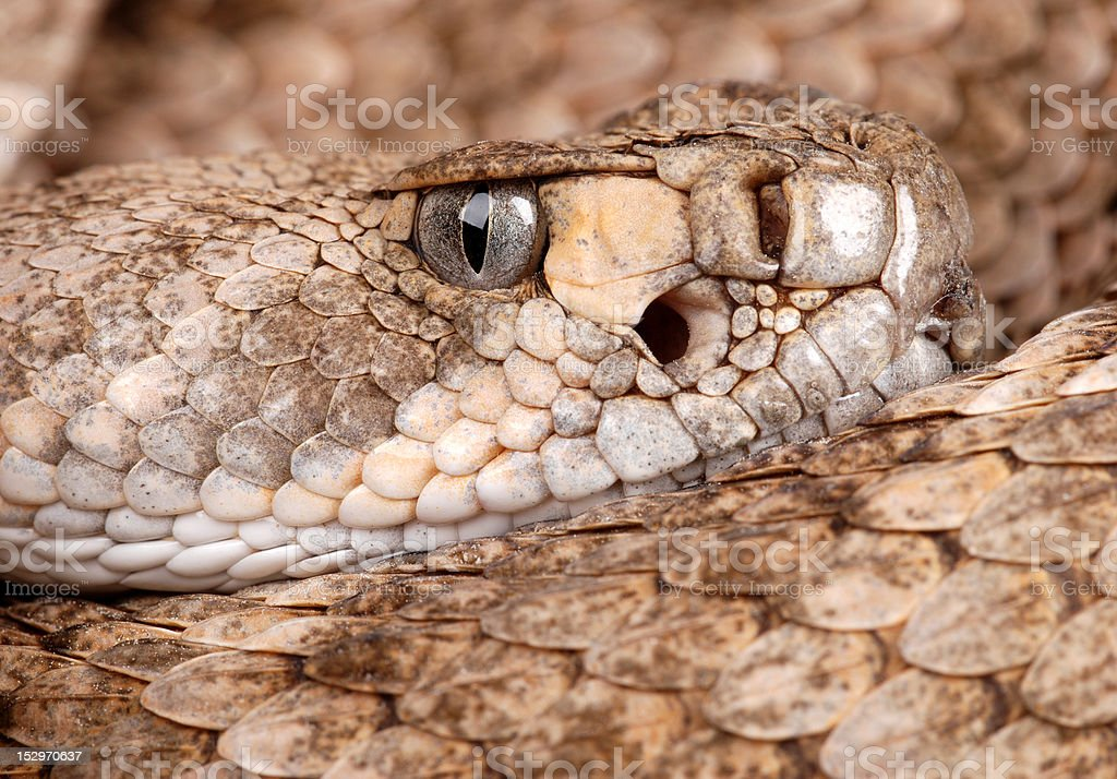 Portrait of a Rattlesnake. royalty-free stock photo