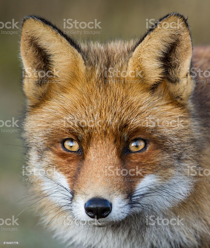 Portrait of a red fox stock photo