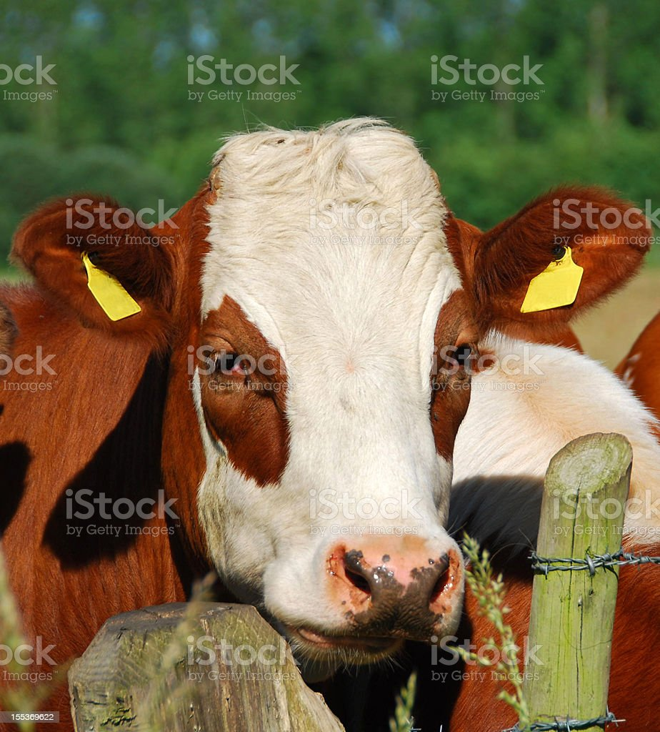Portrait of a red Holstein mottled cow head. stock photo