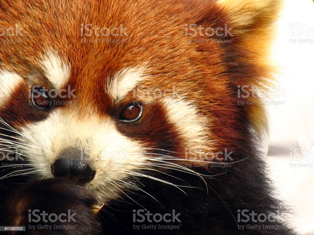 portrait of a red panda (Ailurus fulgens) stock photo
