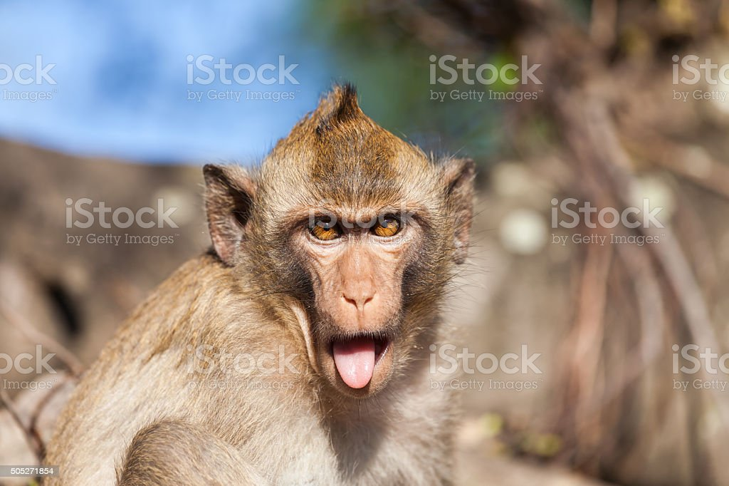 Portrait of a rhesus monkey with tongue sticking out stock photo