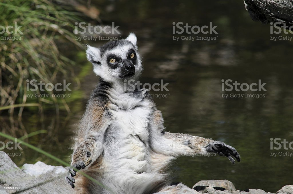 Portrait of a Ring Tailed Lemur With His Arms Open stock photo