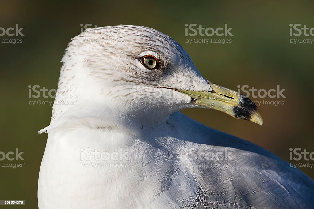 Portrait of a Ring-Billed Gull royalty-free stock photo