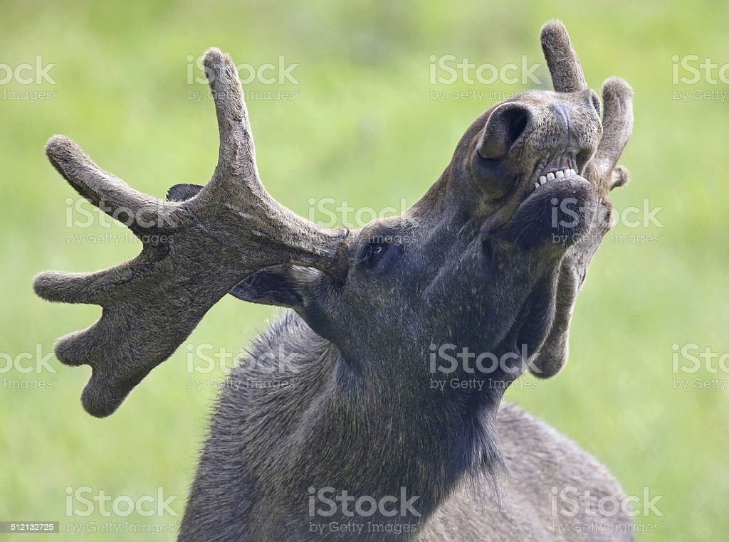 Portrait of a roaring Moose bull 02 stock photo