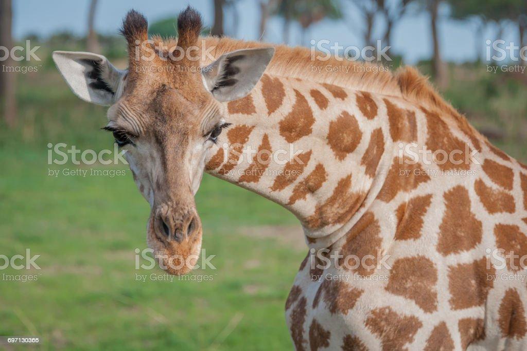 Portrait of a Rothschild giraffe, Murchison Falls National Park, Uganda stock photo