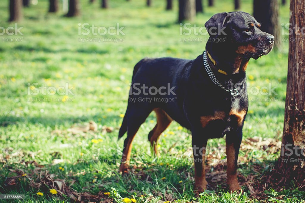 Portrait of a Rottweiler in park stock photo