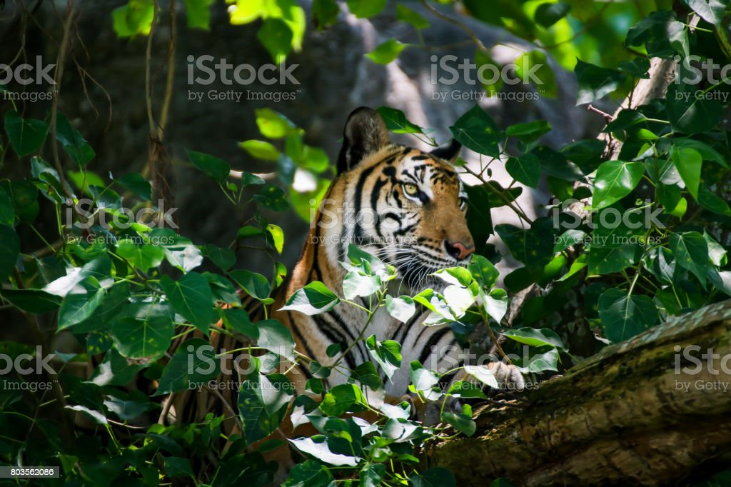 Portrait of a Royal Bengal Tiger Camouflage near timber and looking something on  tree stock photo