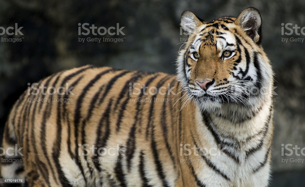 Portrait of a Royal Bengal tiger sit on the rock stock photo