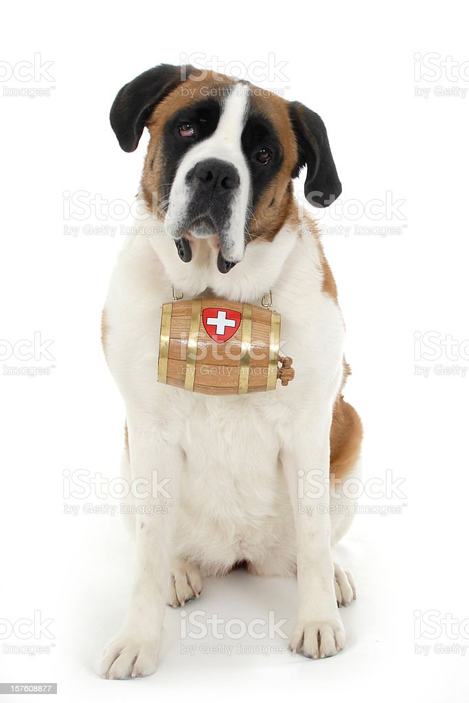 Portrait of a Saint Bernard stock photo