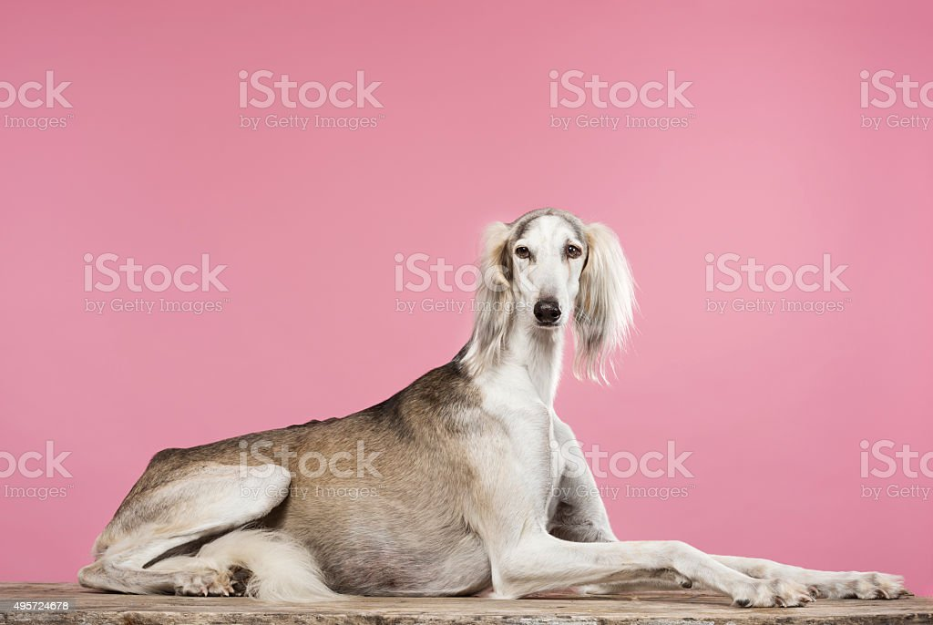 Portrait of a Saluki Arabian Hound stock photo