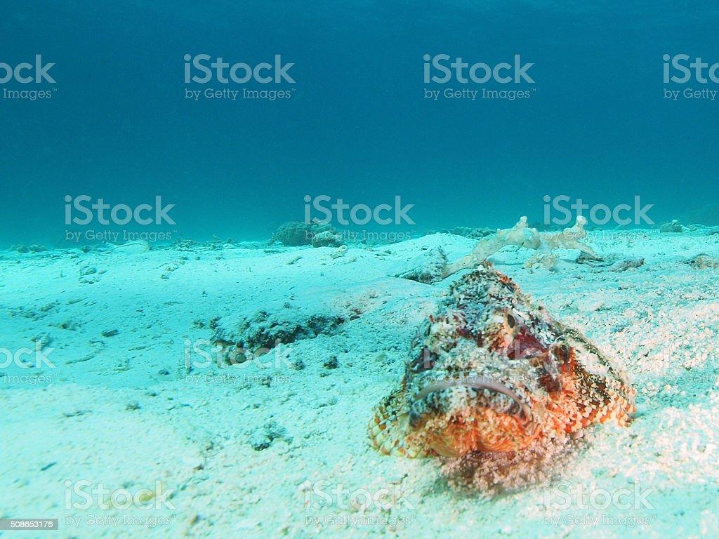 portrait of a scorpion fish stock photo