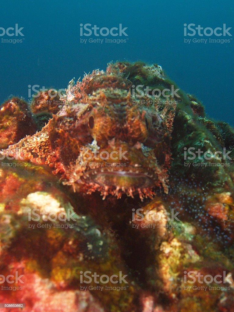 portrait of a scorpionfish stock photo