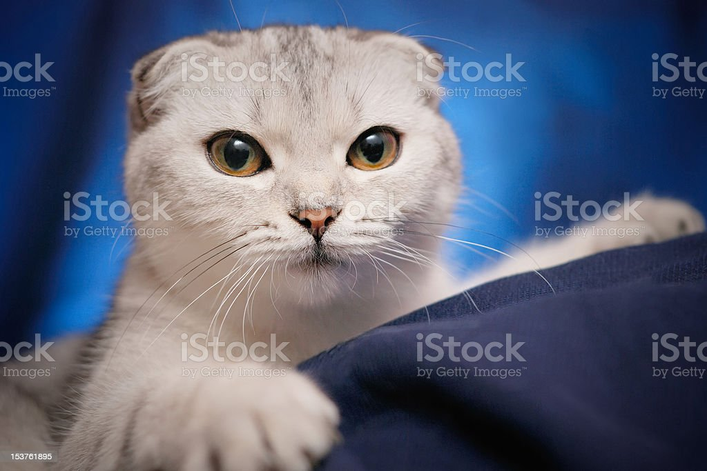 Portrait of a Scottish fold cat royalty-free stock photo