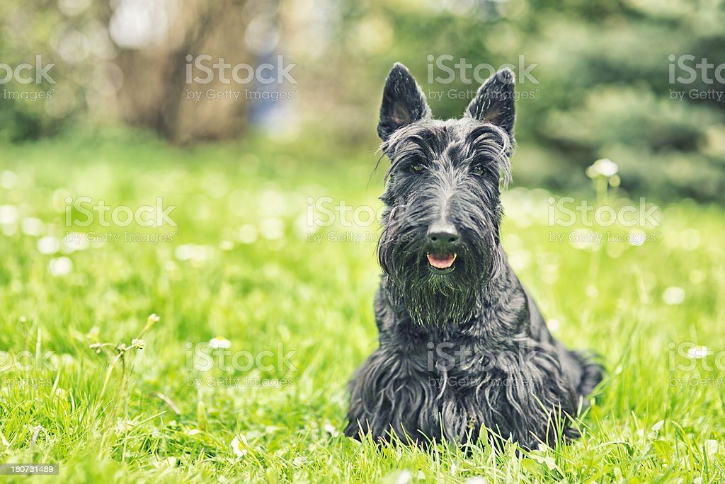 Portrait of a scottish terrier. royalty-free stock photo