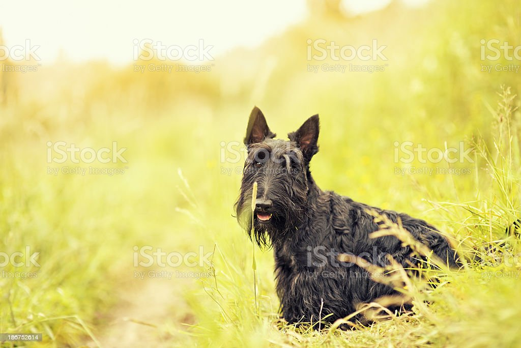 Portrait of a scottish terrier. stock photo
