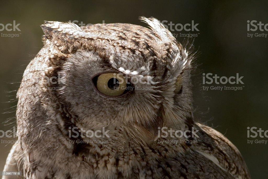 Portrait of a Screech Owl royalty-free stock photo