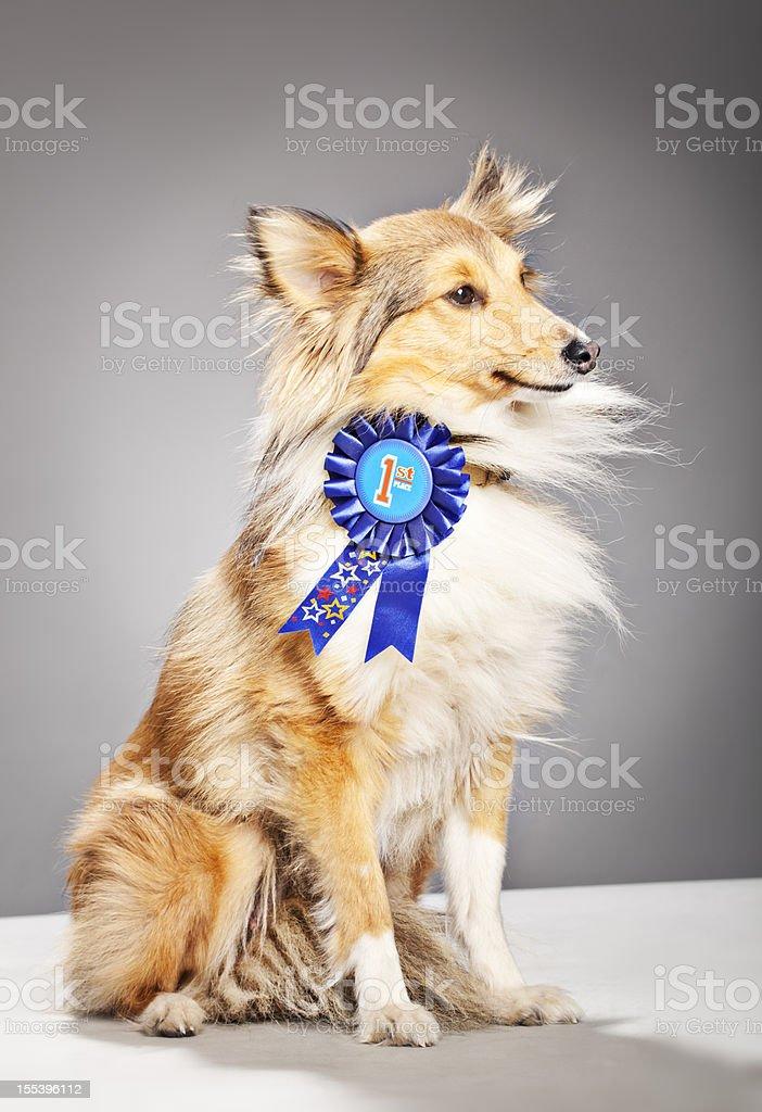 Portrait of a Shetland Sheepdog winning First Prize stock photo