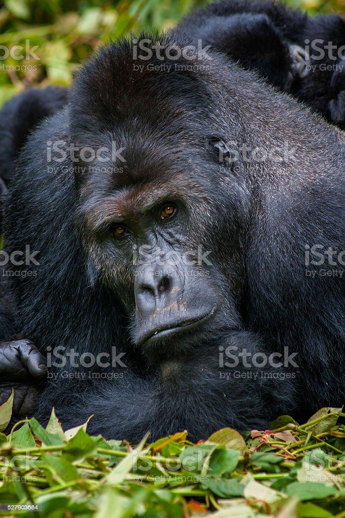 Portrait of a Silverback Gorilla, wildlife shot, Congo stock photo