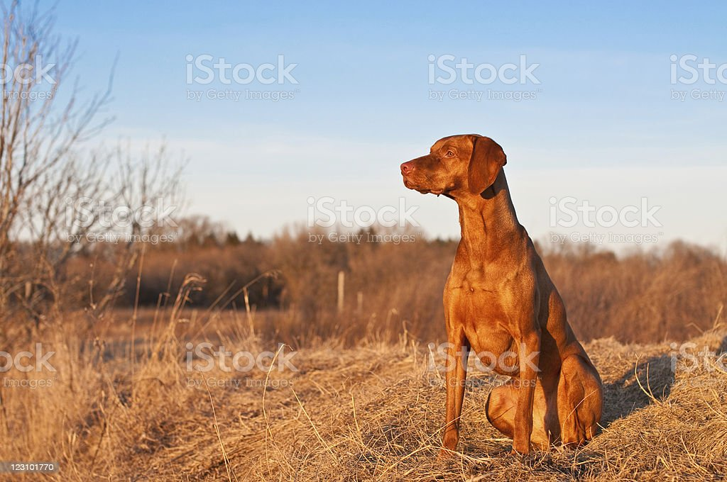 Portrait of a Sitting Vizsla Dog in the Spring stock photo