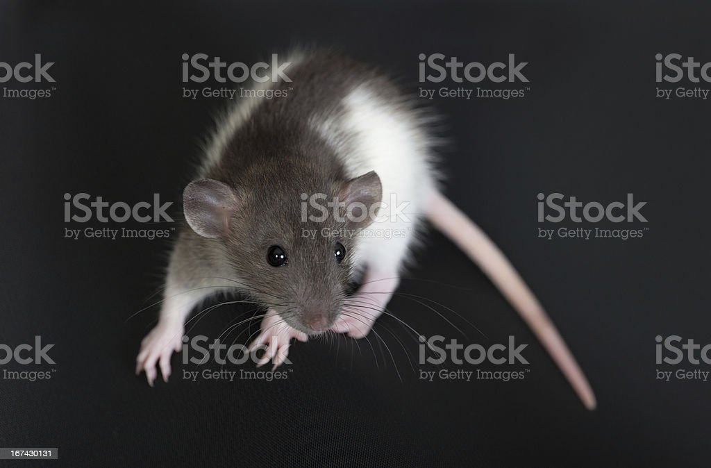 portrait of a small domestic rat royalty-free stock photo
