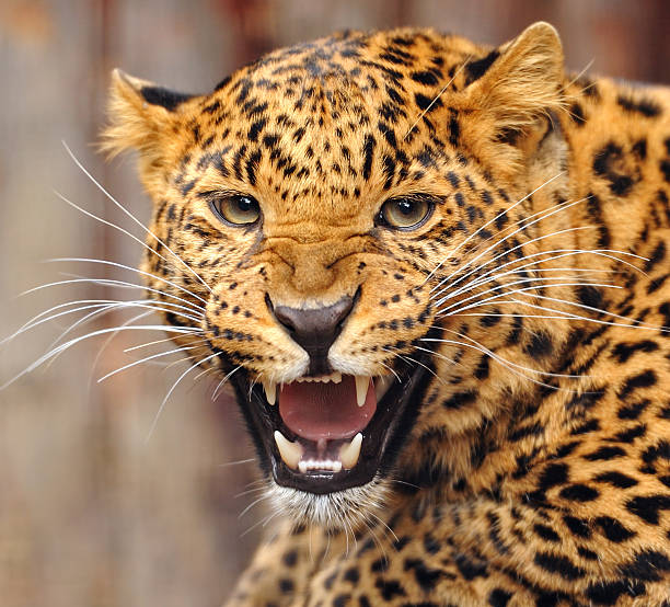 Jaguar Growling: Jaguar Animal Pictures, Images And Stock Photos