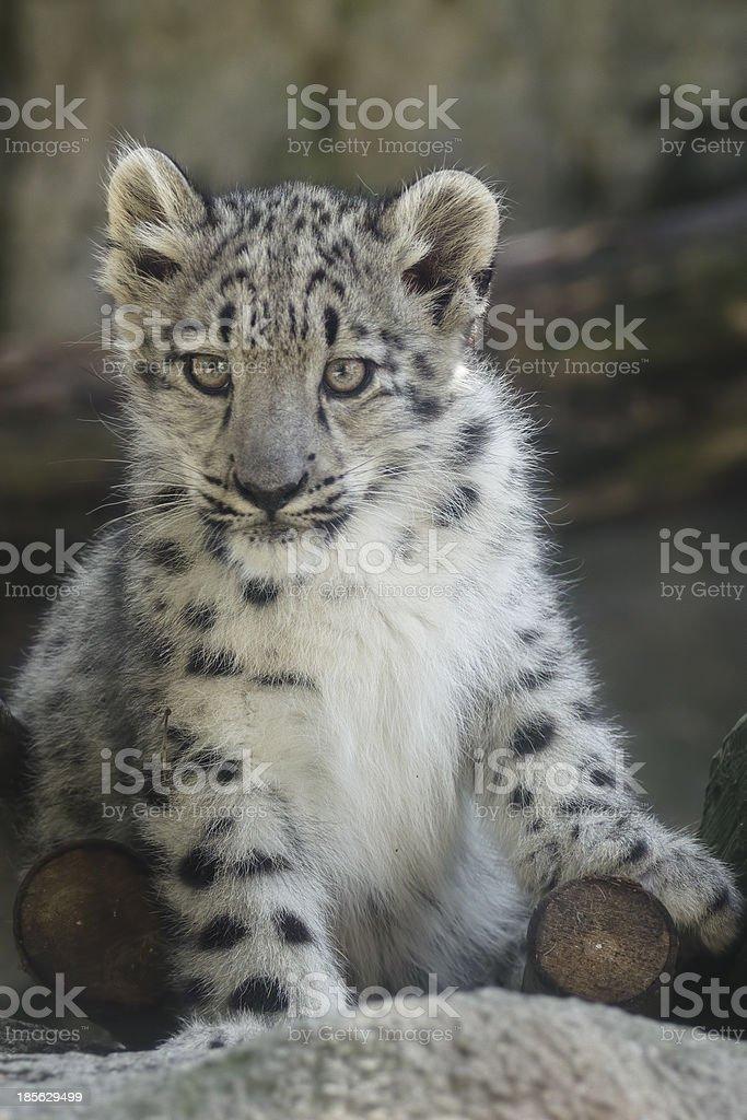 Portrait of a snow leopard cub royalty-free stock photo