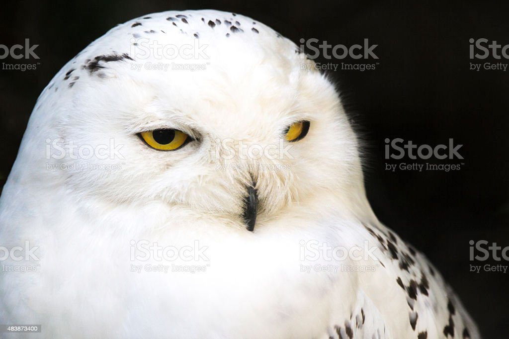 Portrait of a snowy owl stock photo