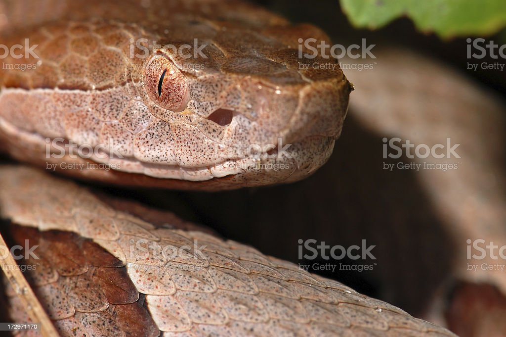 Portrait of a Southern Copperhead royalty-free stock photo