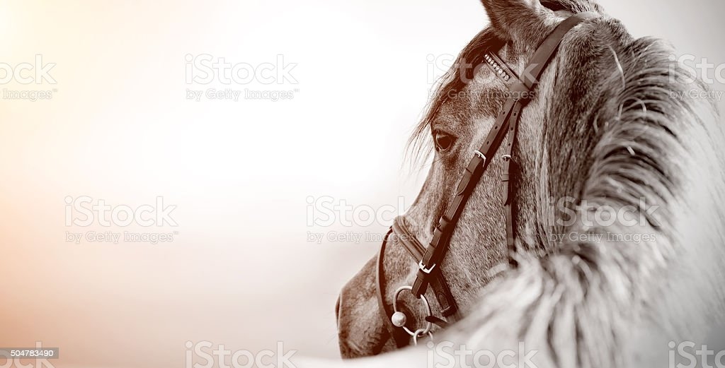 Portrait of a sports stallion stock photo