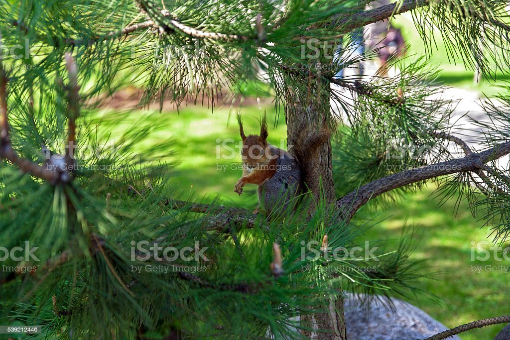 Portrait of a squirrel on  pine branch stock photo