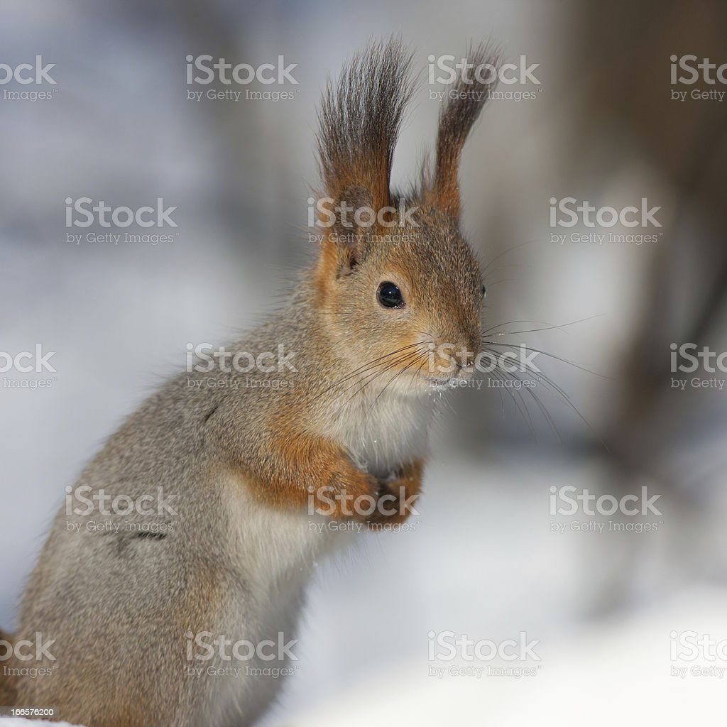portrait of a squirrel royalty-free stock photo
