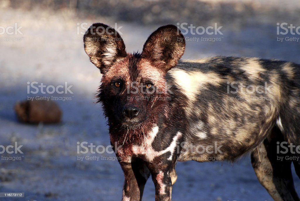 Portrait of a standing wild dog (lycaon pictus) - Botswana royalty-free stock photo