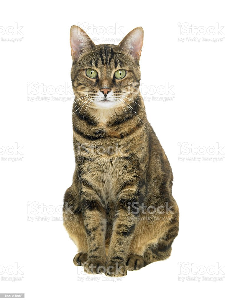 Portrait of a tabby cat on white background stock photo