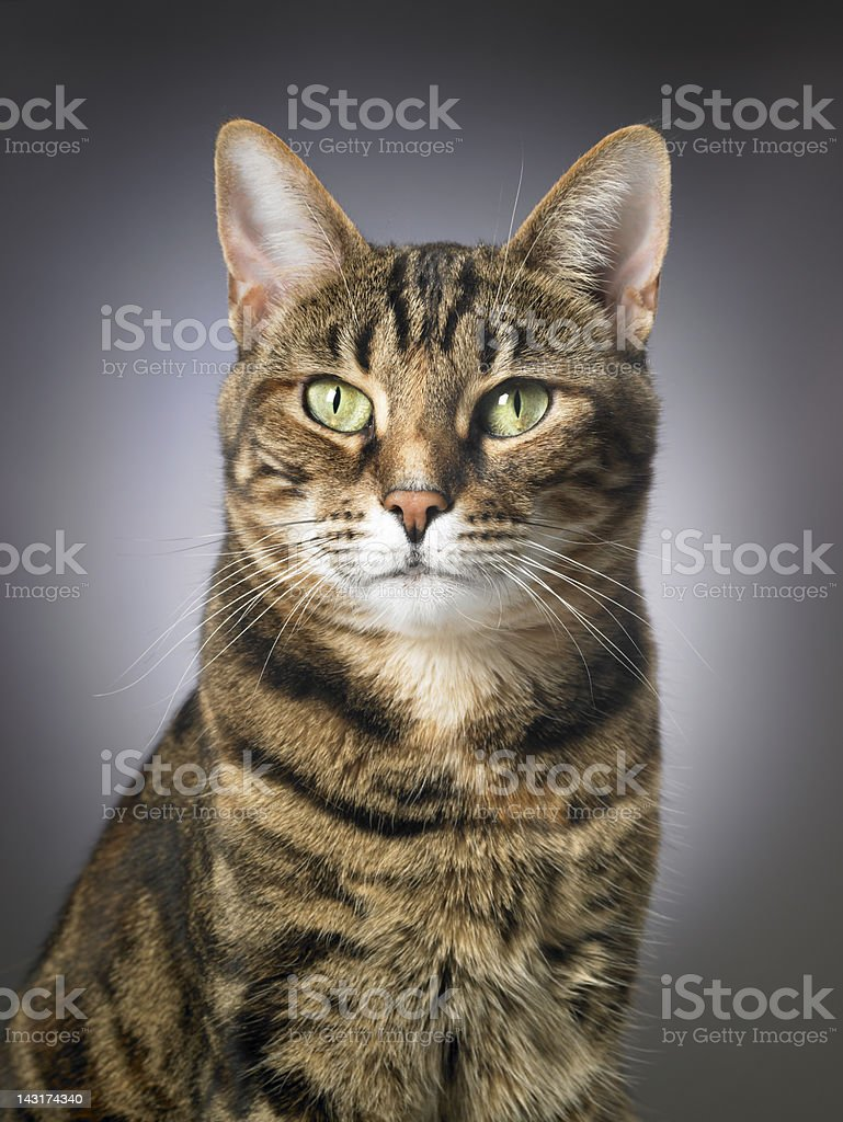 Portrait of a tabby cat stock photo