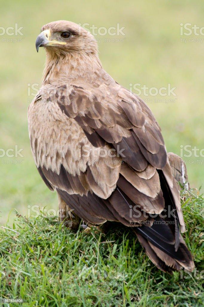 Portrait of a tawny eagle stock photo
